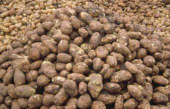 Potatishög i Nájera