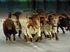Tjurarna släpps ut på gatorna