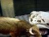 En tjurrusare har hamnat under tjurarna, en mycket farlig position