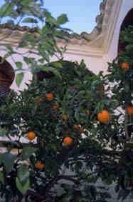 Ett apelsinträd på innergården på paradoren i Guadalupe.