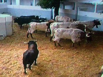 Så var dagens tjurrusning över för tjurarna