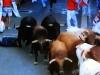 En person som trillat omkull blir trampad på av tjurarna.