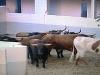 Tjurarna och oxarna från El Ventorillo har rusat klart och befinner sig nu i fållan bakom tjurfäktningsarenan.