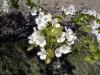 Blommande mandelträd, fotot insänt av Fernando, tack! © Copyright 2004, Fernando Garcia Martín