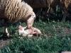 Man vet aldrig vad man råkar ut för under promenaden. Ett lamm har precis fötts utanför den lilla byn Obanos, Navarra.
