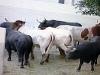 På 2 minuter och 23 sekunder var tjurarna och oxarna samlade i fållan bakom tjurfäktningsarenan.