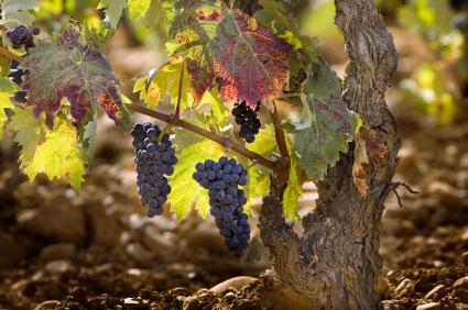 iStock_© Susana Guzmán Martínez vineyard Spain